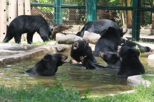animals asia bears pool