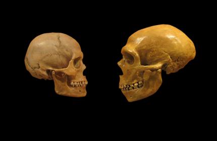 neanderthal modern human skulls comparison