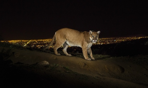 A mountain lion in Griffith Park. © Steve Winter/Getty Images/National Geographic